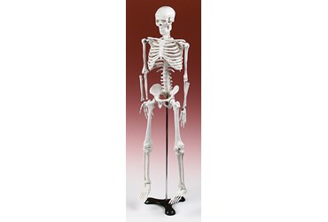 Half-Size Skeleton for Anatomy Studies