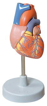 Life-Size Heart Model with Two Parts