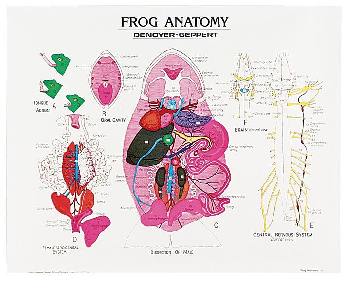 Frog Anatomy Chart