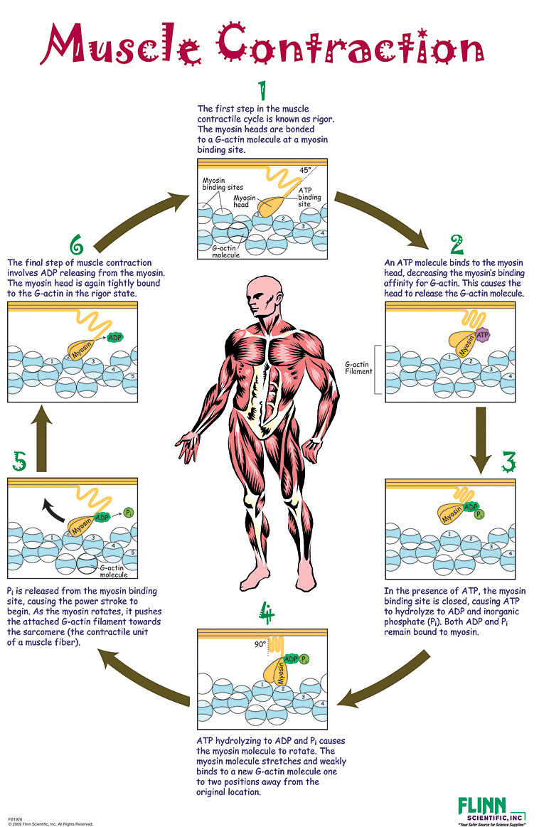 Anatomy And Physiology Muscle Contraction | www.topsimages.com