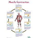 Muscle Contraction Poster for Anatomy Studies