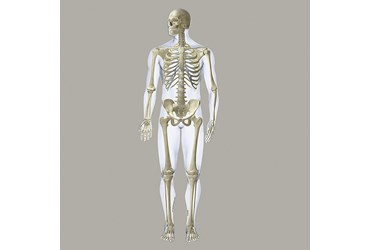 Skeleton Wall Graphic for Anatomy Classroom