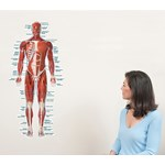 Muscular System Wall Graphic for Anatomy Studies