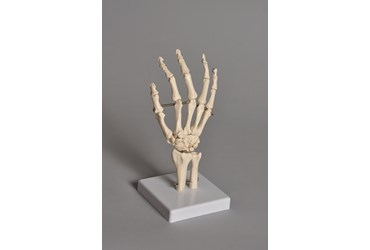 Human Hand Model for Anatomy Studies