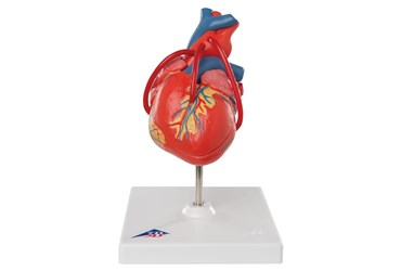 Classic Heart with Bypass, 2-Part Model