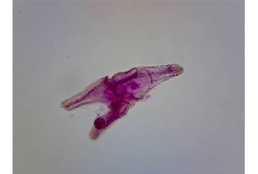 Sea Urchin Development Microscope Slide